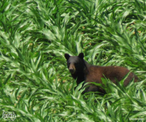 The DNR posted this photo online of the bear in northeast Iowa.