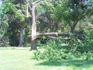 Le-Mars-tree-down