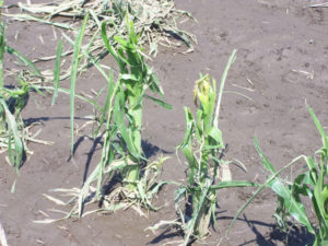 Corn damaged by hail and high winds.