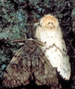 Gypsy moth.
