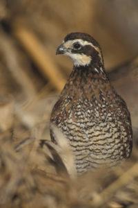 quail2