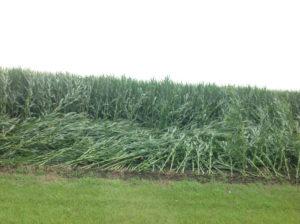 Corn damaged by wind in Scott County.