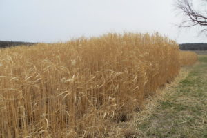 Miscanthus is a perennial grass that could help keep nitrates out of waterways