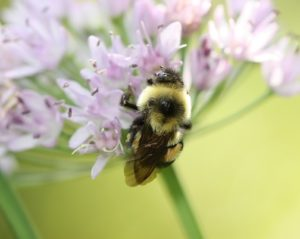Bee -- the rusty patched bumble bee