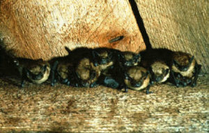 Brown-Bats