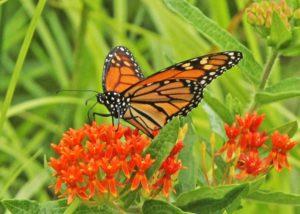 Monarch -- Photo by Karl Schilling