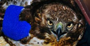 Horned owl.