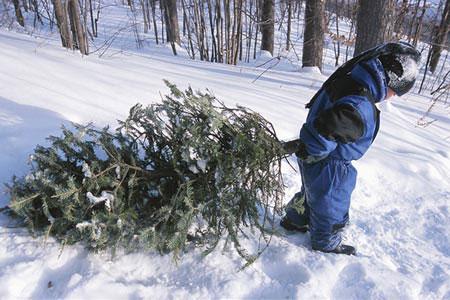 Iowa Christmas tree farms expected to get busy - Radio Iowa