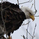 Runnells man charged with illegally possessing head and talons of eagle