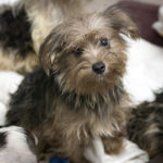 Western Iowa woman warns of puppy seller scam