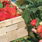 Iowa strawberry season expected to be a good one