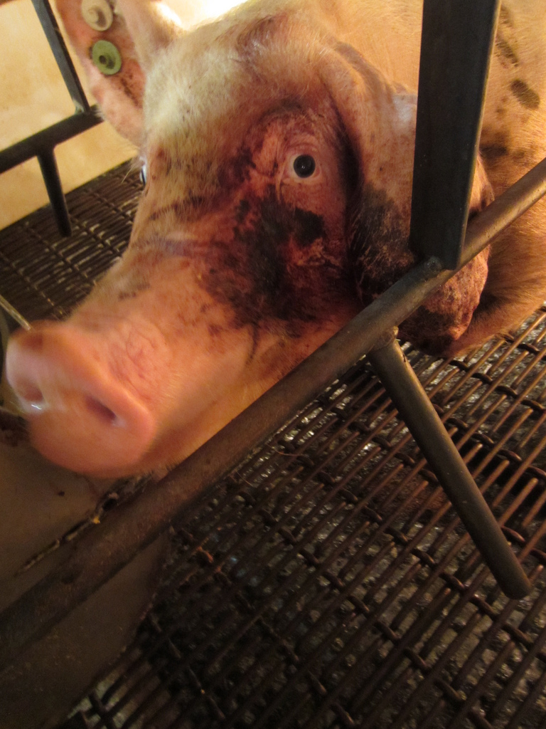 Group Releases Undercover Video Of Livestock Abuse In Iowa